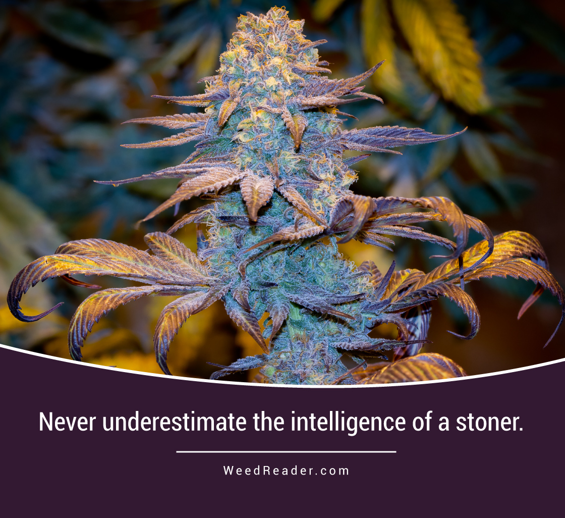 never-underestimate-the-intelligence-of-a-stoner