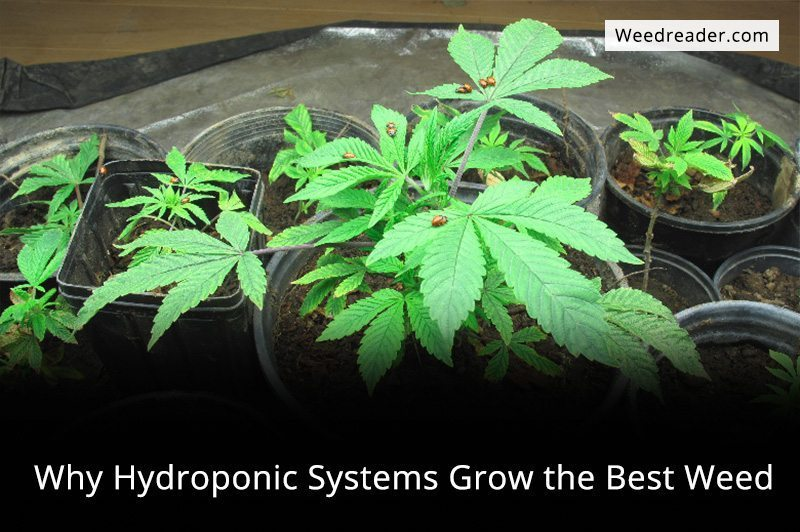 how to grow the best weed