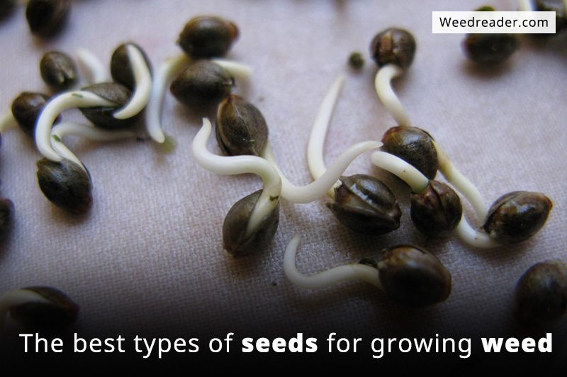 an analysis of the three different species of cannabis in the world Types of marijuana: marijuana pictures home | bud marijuana pics | marijuana leaf pics mixed sativa seeds are a mix of popular sativa types nigeria marijuana plant produces a very hashy taste and sweet high.