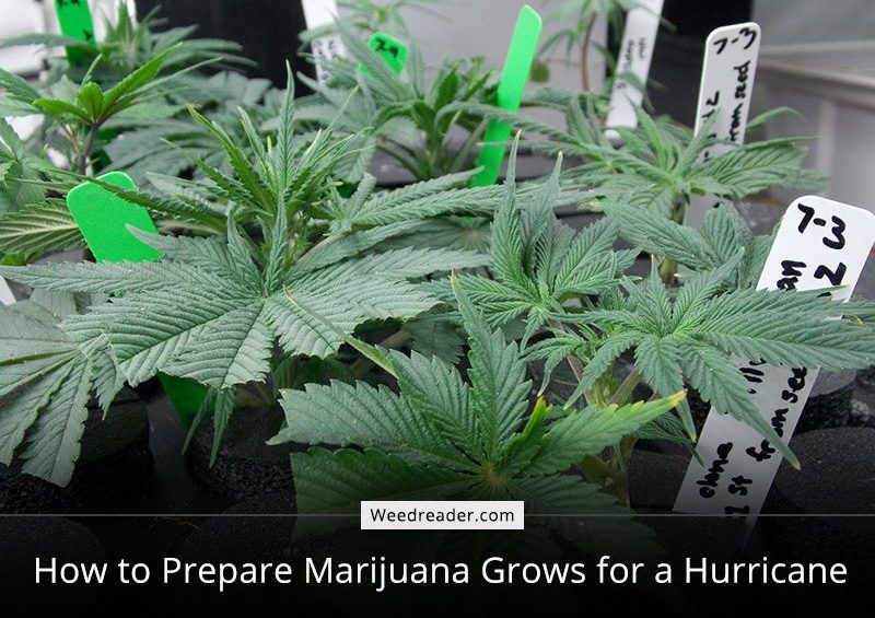 How to Prepare Marijuana Grows for a Hurricane