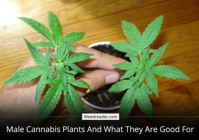 Male Cannabis Plants And What They Are Good For