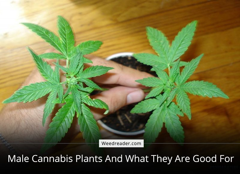 is marihuana good for us Interest in medical marijuana is growing steadily, fanned by a large political movement that aims to increase its availability and legality but what's it actually good for.